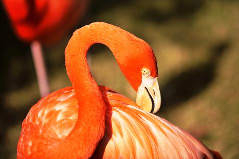 A flamingo poses for the camera