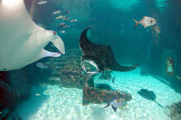 Manta rays cruise the Dig