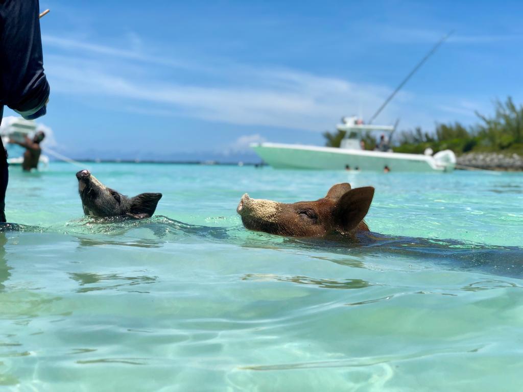 Eleuthera Swimming Pigs