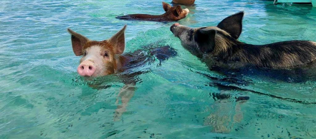 Pink Sands & Eleuthera Swimming Pigs