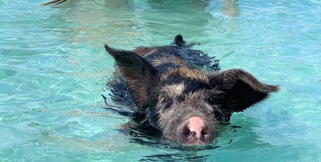 Pink Sands & Eleuthera Swimming Pigs